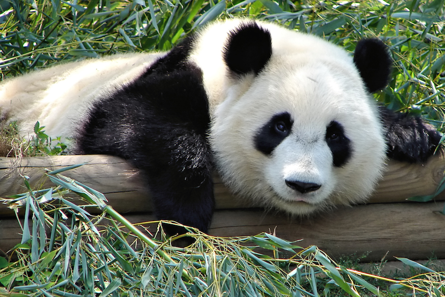 Pleasing Panda: Your Guide to Google's Search Algorithm